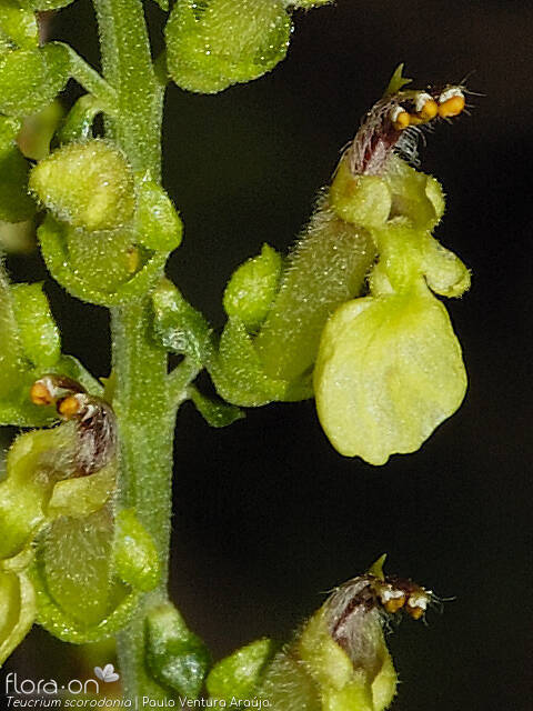Teucrium scorodonia - Flor (close-up) | Paulo Ventura Araújo; CC BY-NC 4.0