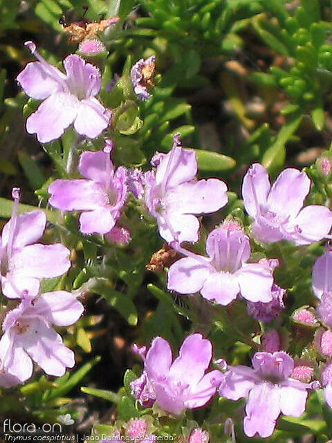 Thymus caespititius - Flor (close-up) | João D. Almeida; CC BY-NC 4.0