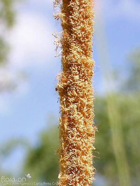 Typha domingensis - Flor (close-up) | Carla Pinto Cruz; CC BY-NC 4.0