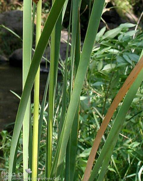 Typha domingensis - Folha | Carla Pinto Cruz; CC BY-NC 4.0