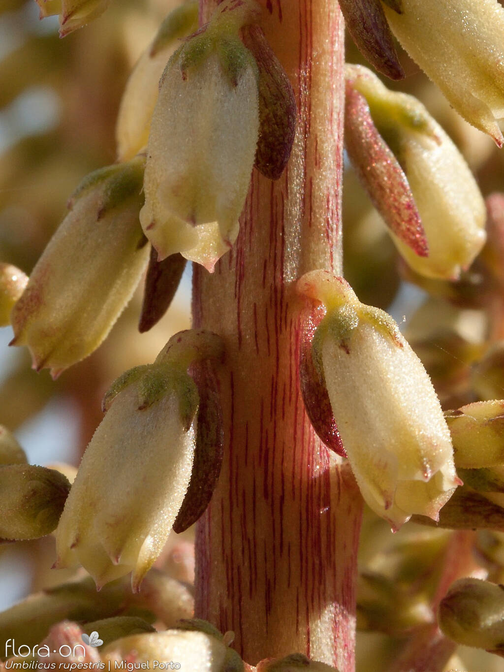 Umbilicus rupestris - Flor (close-up) | Miguel Porto; CC BY-NC 4.0