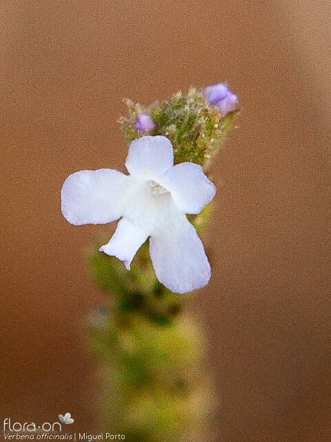Verbena officinalis - Flor (close-up) | Miguel Porto; CC BY-NC 4.0