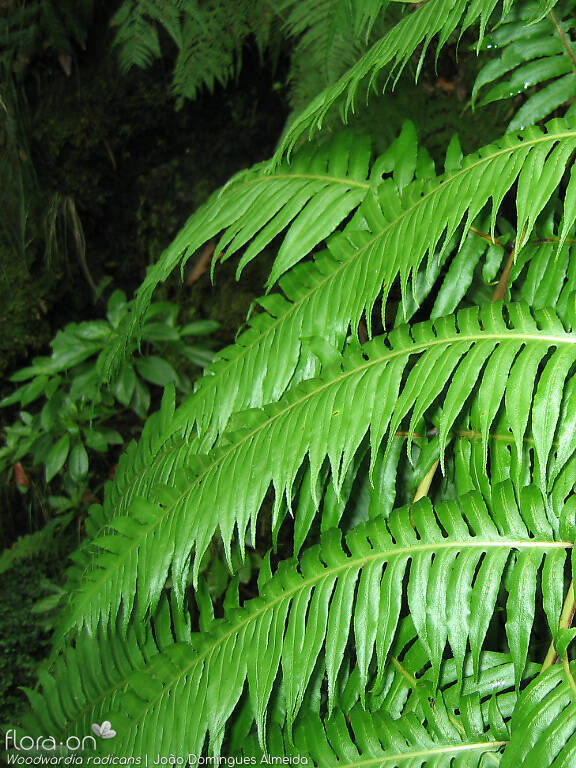Woodwardia radicans - Folha | João Domingues Almeida; CC BY-NC 4.0